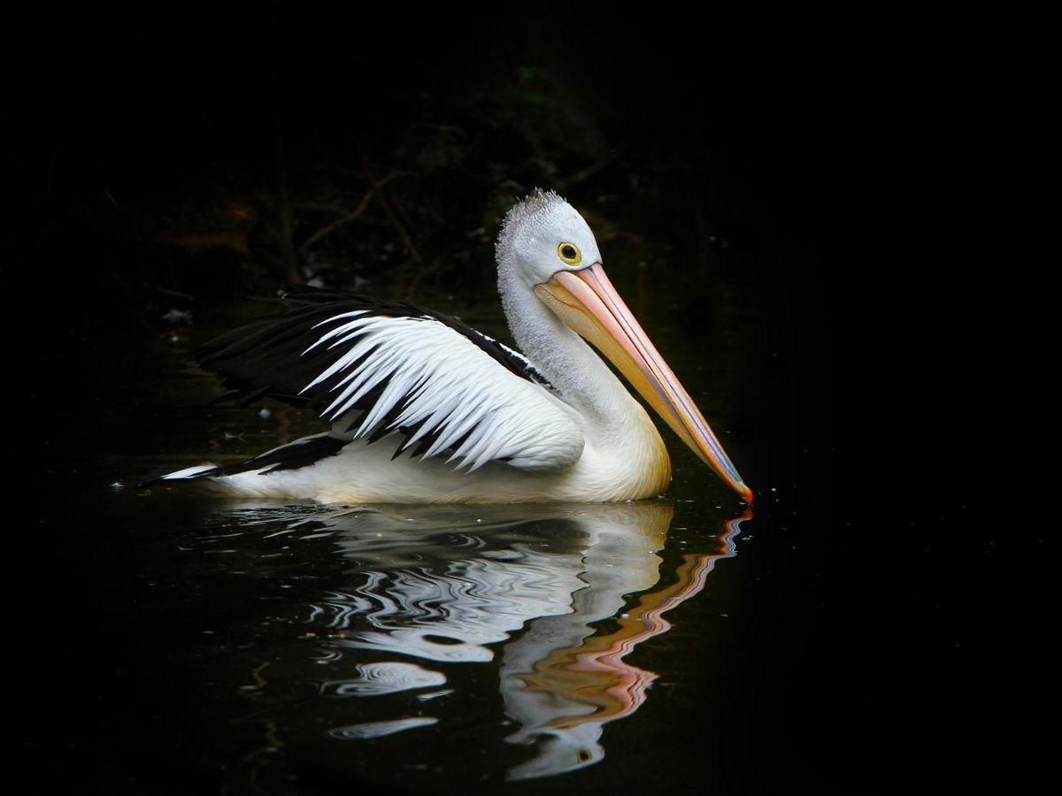 4kpicture_pelican